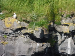 Puffins! , Lindly O - July 2017
