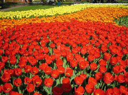 A never ending road of brightly colored tulips., Robert B - May 2009
