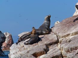 Sea lions sunning on the rocks at Ballesta Islands, Tim Leffel - August 2011