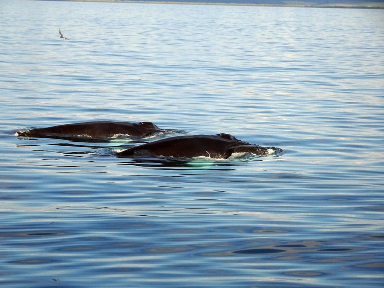 Whales and Puffins Tour from Husavik