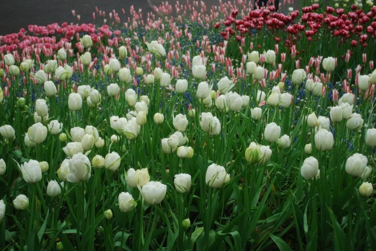 Beautiful white tulips - Amsterdam