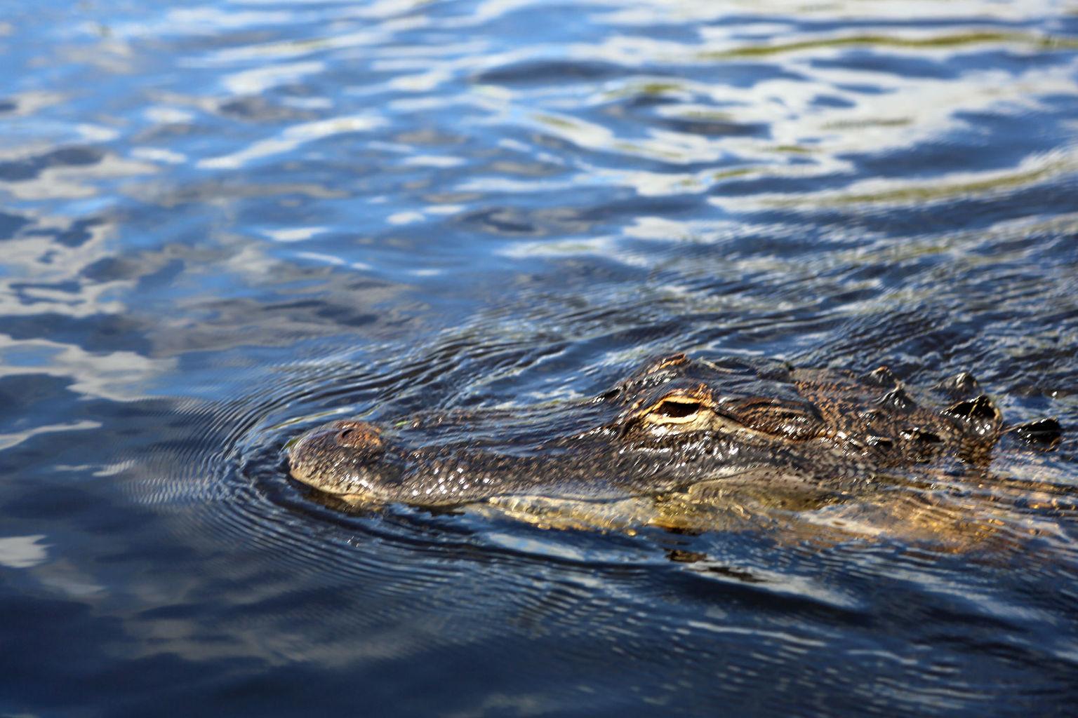 MÁS FOTOS, Excursión en hidrodeslizador a Everglades de Florida y espectáculo con caimanes desde Fort Lauderdale