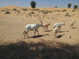 Our first ever oryx experience , Tracey G - June 2015