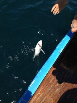 My daughter caught a shark, it was so cool., Lindy - August 2014