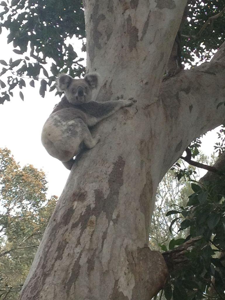 observation-des-koalas