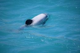 Hector dolphins , Rene v - February 2017