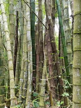 Bamboo in the Rainforest , Wendy H - May 2017