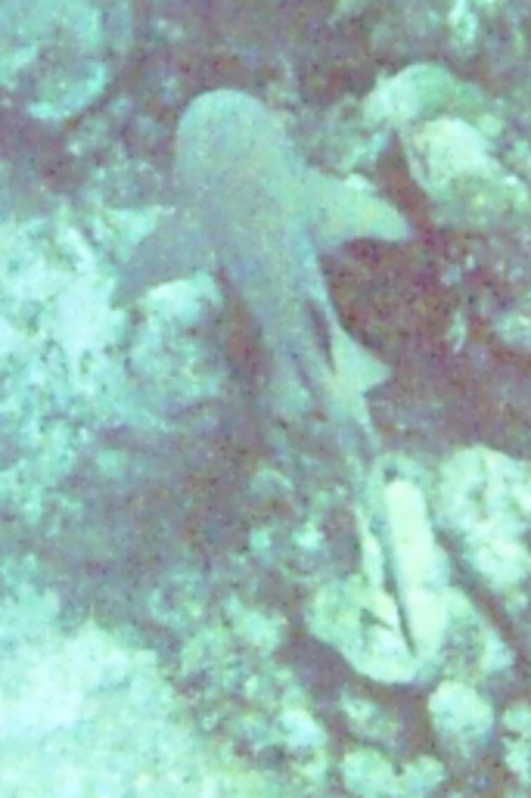 juvenile reef shark - Nassau