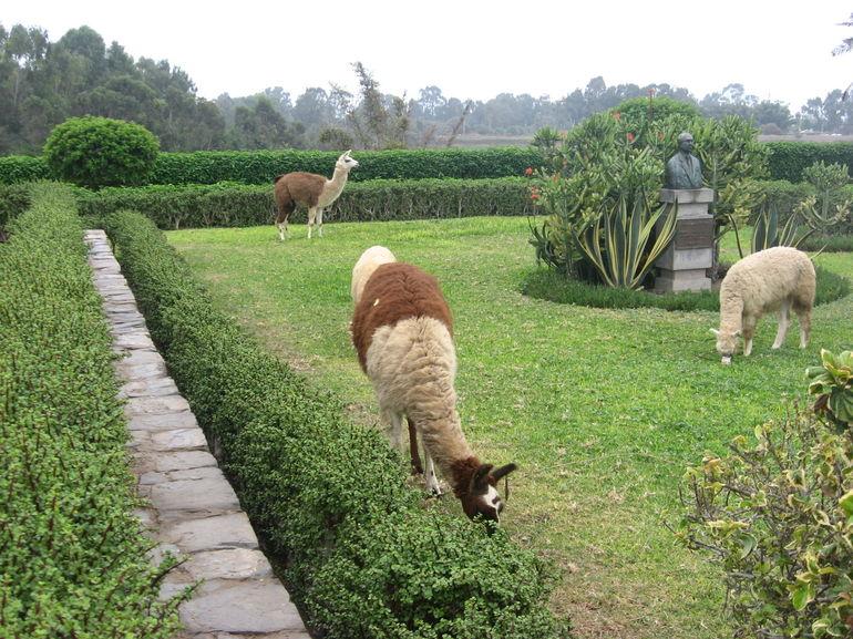 Llamas - Lima