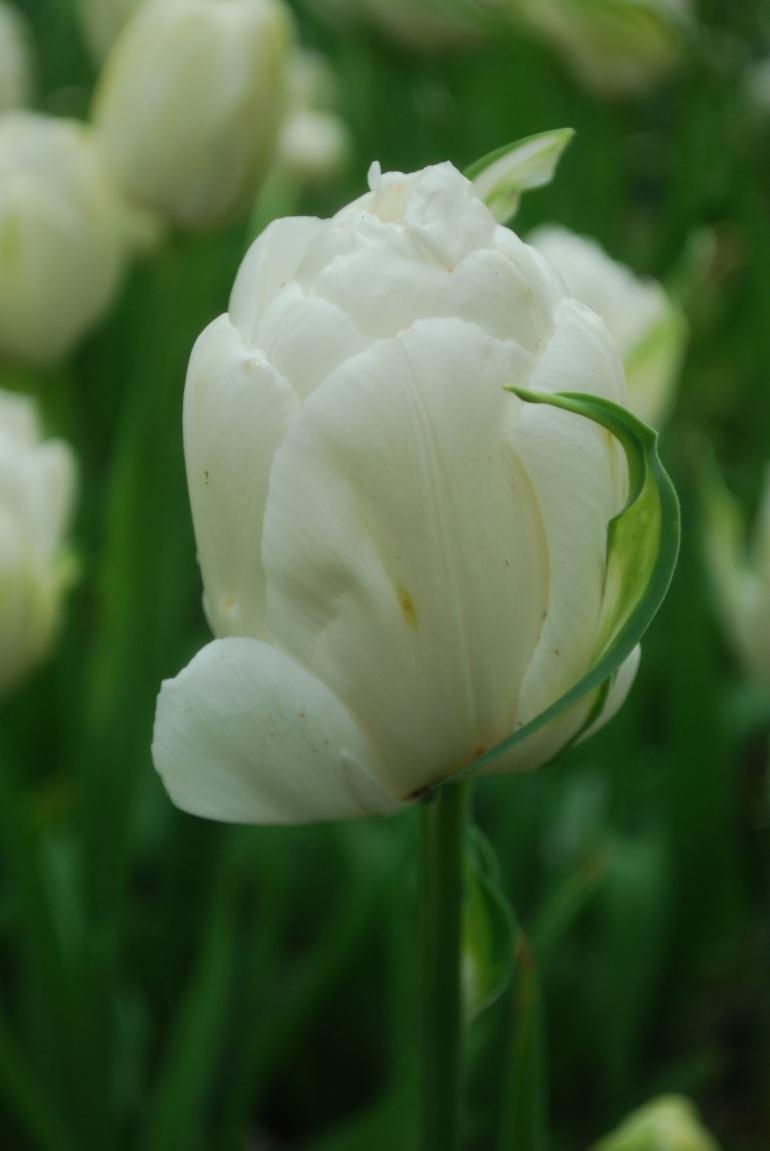 Single white tulip - Amsterdam - Amsterdam