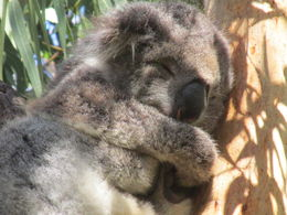 At one of the stops you can see wild koalas and magnificently colored parrots! , Eden K - March 2015