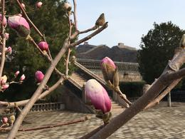 Magnolia Blooms on the Great Wall , dieselrod - April 2017