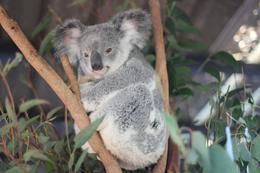 koala , Heather F - July 2017