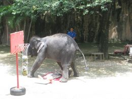 This was my favourite show. The elephants play basketball, dance and give massages to volunteers from the audience. The elephants are very cute and look like they are having so much fun!, Monique N - September 2009