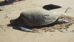 Turtle basketing in the sun. , Mariangela M - August 2012