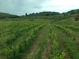 Vineyard in Montacino - August 2013