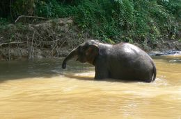 Baby elephant taking a bath., Michael P - June 2008