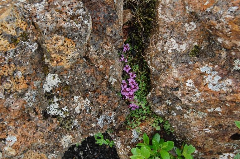 Icelandic arctic flora - Reykjavik