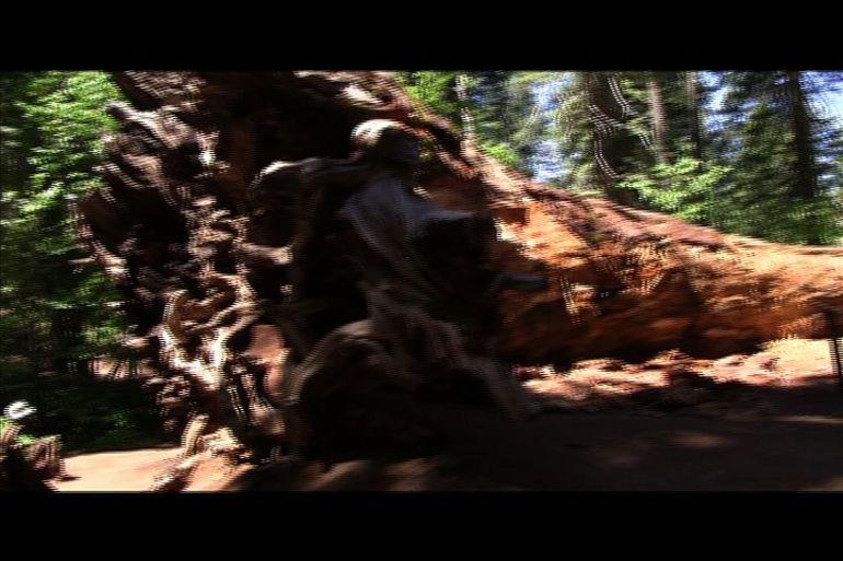 A fallen Sequoia - San Francisco