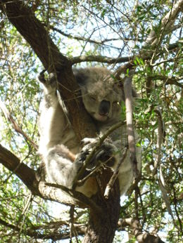 Koala doing what koalas do! , Colin M C - March 2013