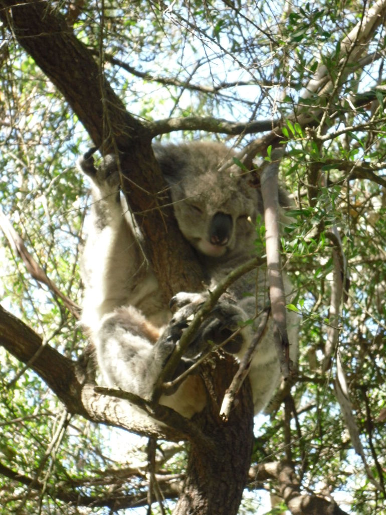 Koala doing what koalas do! - Melbourne