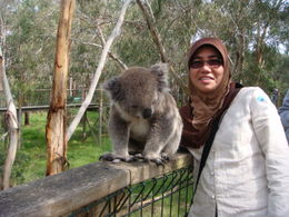 he is the catch of the day....the most active koala in Australia... , ABDULLAH M - October 2011
