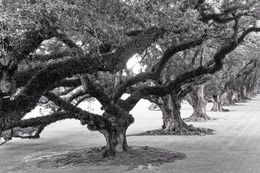 beautiful oaks at the plantation , Renee L - September 2014