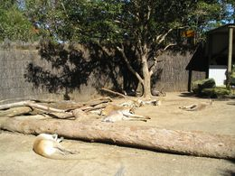 Seems like kangaroos like to lay around a lot., Christine C - July 2008