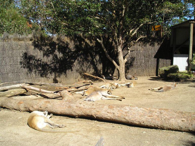 Taronga Zoo - Kangaroos - Sydney