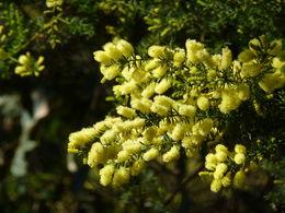 Wattle Blossom , John K - September 2014