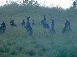 A mob of kangaroos! , sowers1011 - November 2016