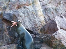 This sea lion at the Ballesta Islands is showing off the star fish she just caught!, Tim Leffel - August 2011