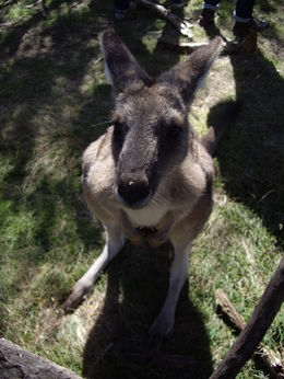 I made a new friend today! Feeding the kangaroos was probably the highlight of my whole trip. So adorable and gentle. Amazing to be able to get that close to them. , mmks - May 2014