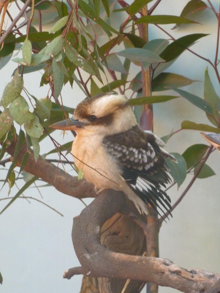 Closeup of a Kookaburra at WILD LIFE - Sydney