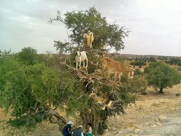 Goats in a tree!. , Becks - September 2015