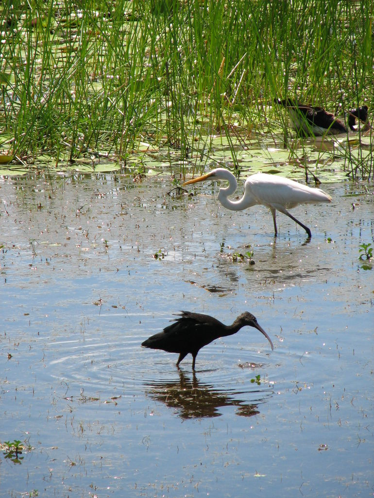 Ibis and Egret - Darwin