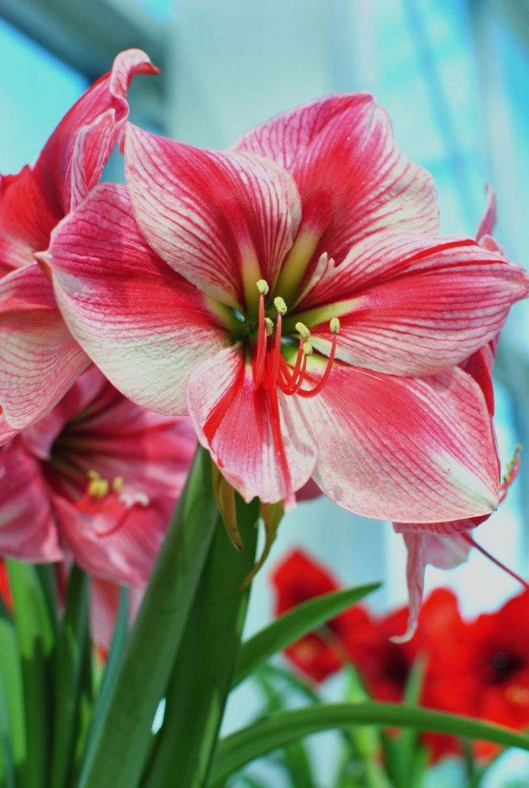 Lilies -