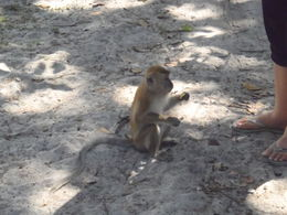 One of the many monkey's at the beach , Jackie - December 2013