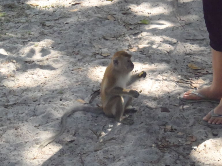 Monkey - Penang