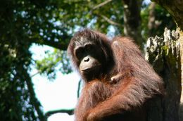 Orangutan at Sepilok., Michael P - June 2008