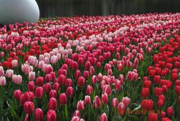 This is my favorite of the many photos I took in Keukenhof. Tulips and more beautiful tulips everywhere in this garden. Awesome! , Catherine C - May 2012