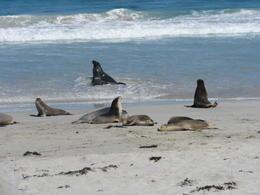 Australian Seals , Nndma56 - November 2017
