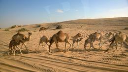 Camel's in the dessert , r t - February 2014