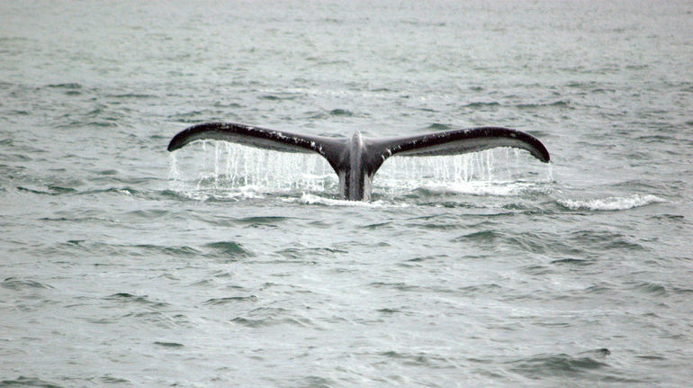 Humpback whale breaching - Juneau