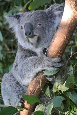 Koala , Erick G - July 2013