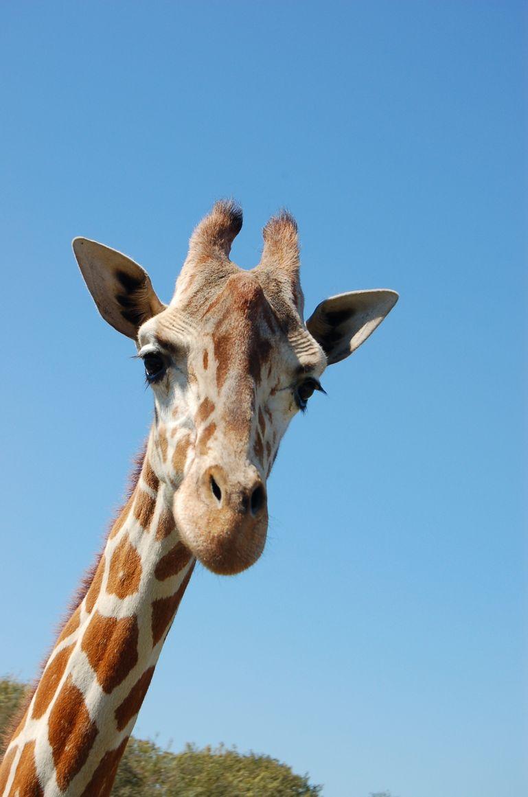Curious Giraffe - Tampa