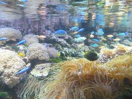 One of the many angles from which a visitor can see the Great Barrier Reef exhibit. Lots of colorful fish and anemones, transplanted from the reef, all here showcased under lighting that makes it a ... , John K - September 2012