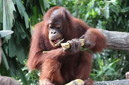 Close up of Orangutan eating a banana. , Michelle R - June 2016