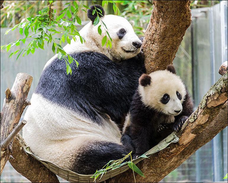 Pandas - San Diego
