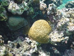The brains coral , David H - September 2014